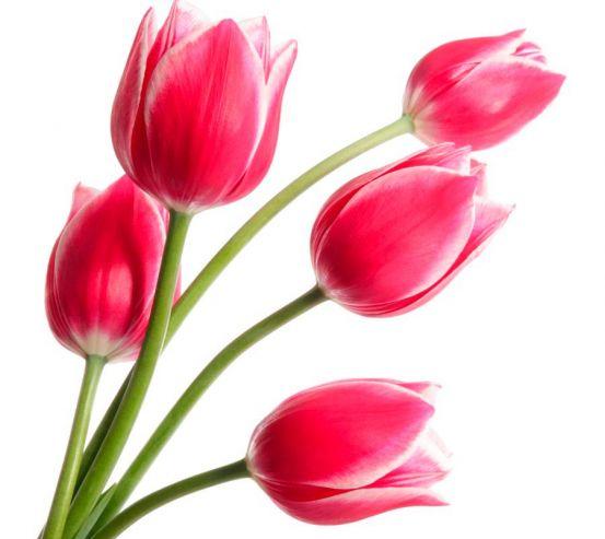 Фотообои Тюльпаны розовые 7714