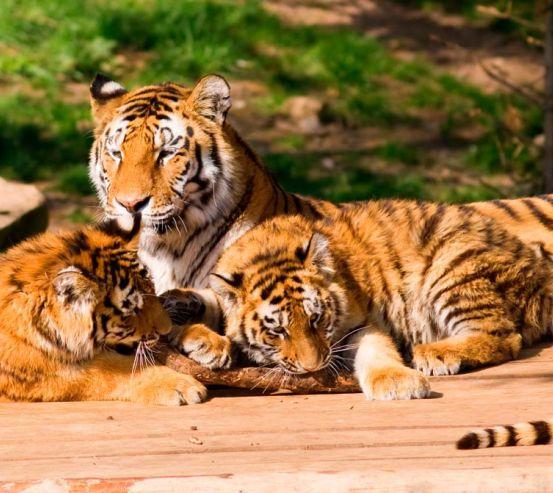 Фотообои Семья тигров 9215