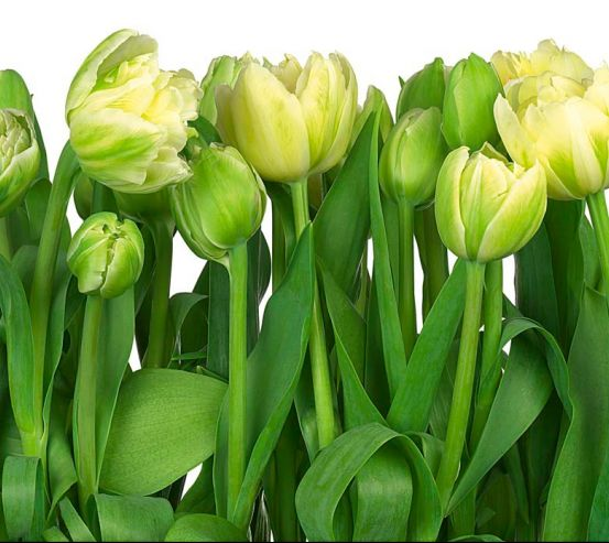 Фотообои Тюльпаны 19719