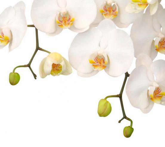 Фотообои Орхидеи белые и бутоны 8247