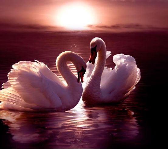 Фотообои Лебеди  12632