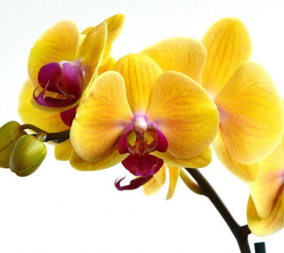 Фотообои желтые орхидеи на белом фоне 21161