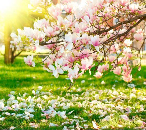 Фотообои Отцвели вишневые цветы 5691