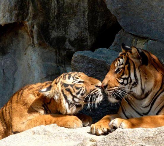 Фотообои Нежность тигров 7894
