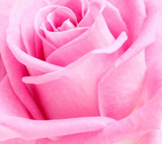 Фотообои Макро-съемка розы 9967