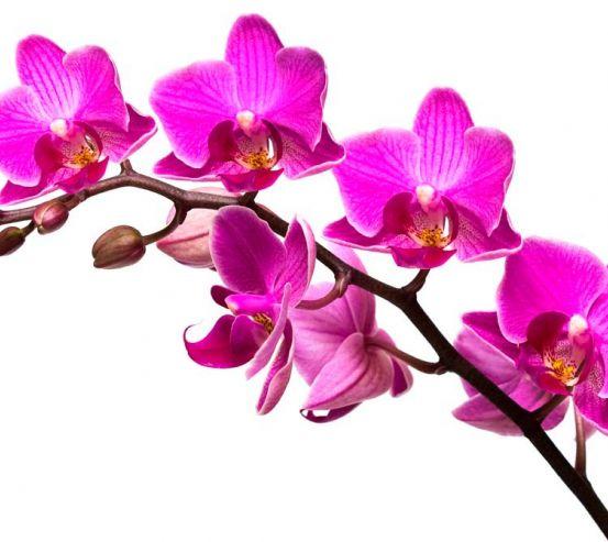 Фотообои Ветка малиновых орхидей 5948