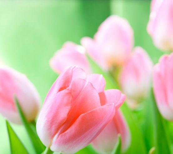 Фотообои Нежно-розовые тюльпаны 5370