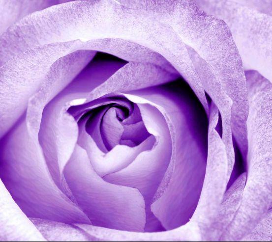 Фотообои Снежно-сиреневая роза 3095