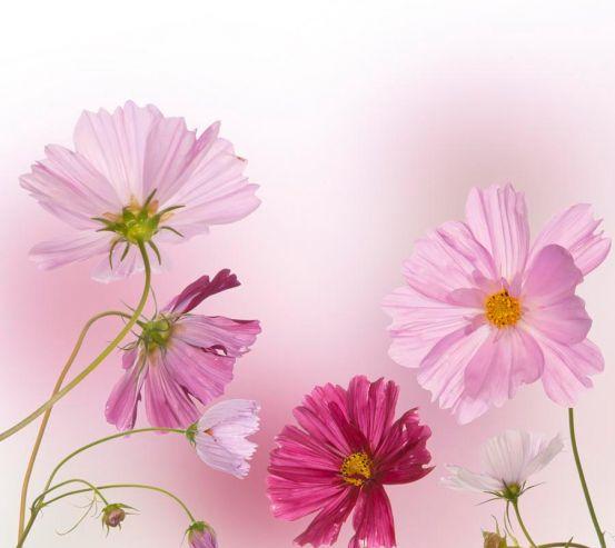 Фотообои Ромашки розовые и малиновые 7111