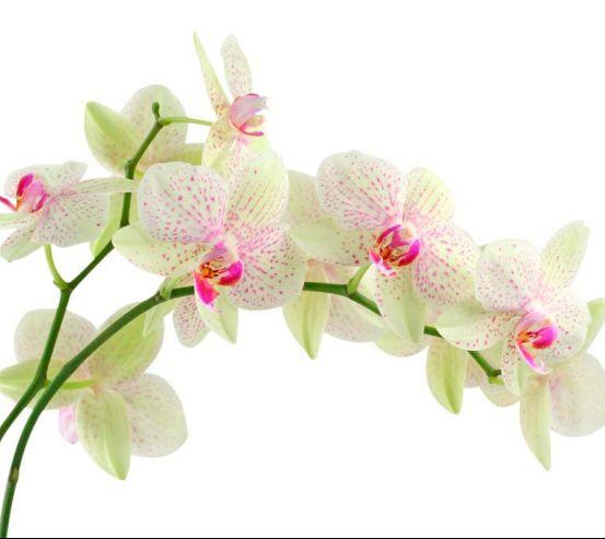 Фотообои Белые в крапинку орхидеи 7624