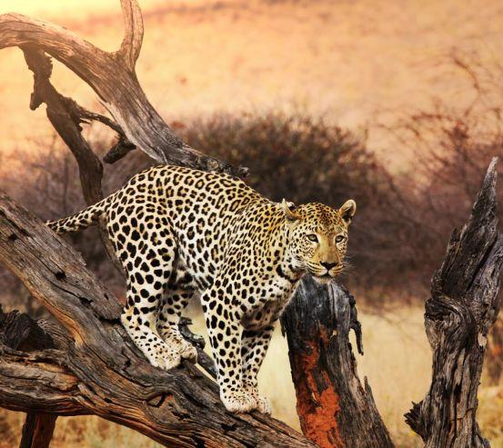Фотошпалери леопард на гілці 20573