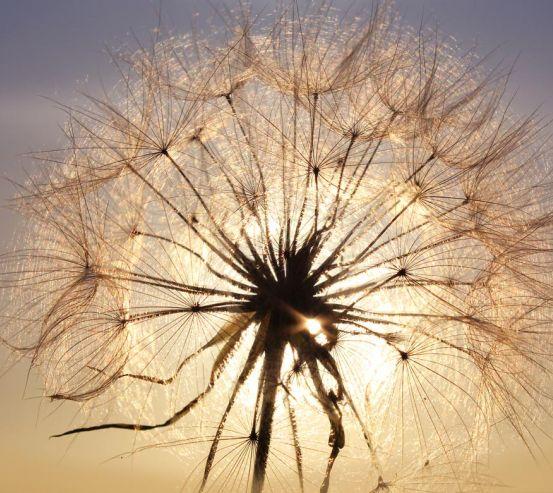 Фотообои одуванчик на солнце 20720