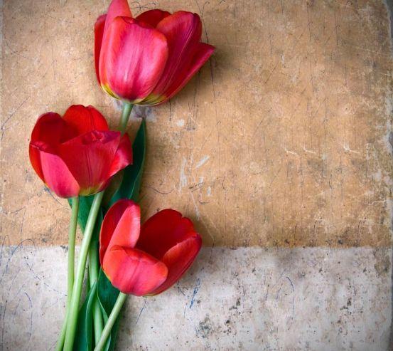 Фотообои Три красных тюльпана 9597