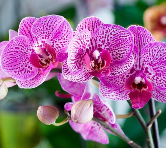 Фотообои Орхидеи в розовую крапинку 8379