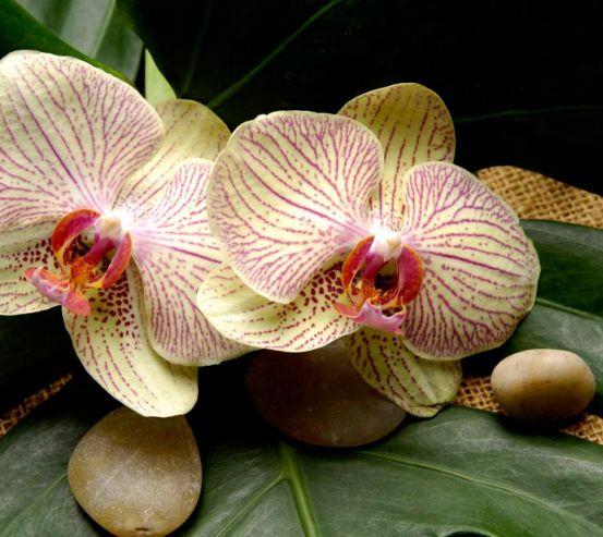 Фотообои Полосчатые орхидеи 5027