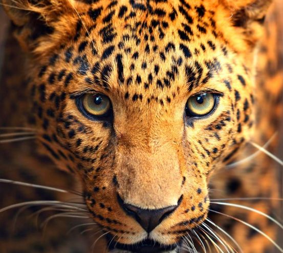 Фотообои Любопытный гепард 7106