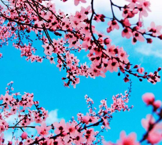 Фотообои Цветущая весной вишня 10283