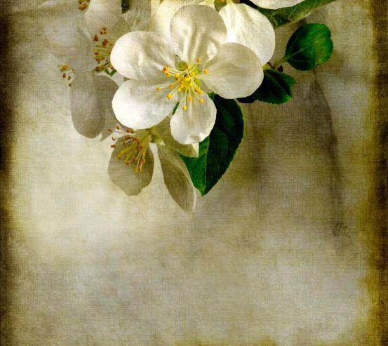 Фотообои Цветок вишни 5452