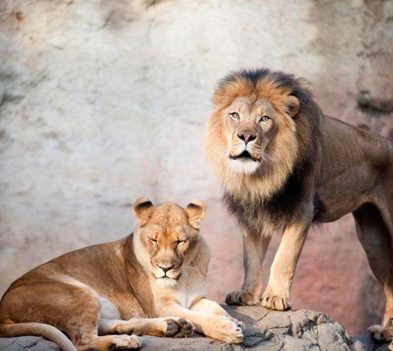 Фотообои Семейство львов 9185
