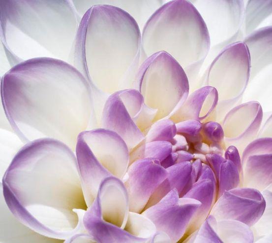 Фотообои Лепестки пиона бело-фиолетовые 10226