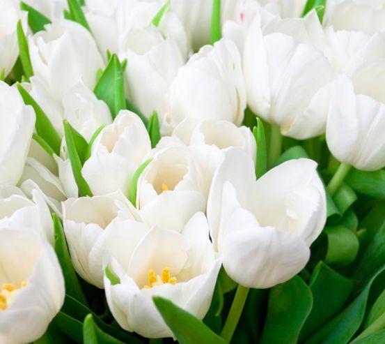 Фотообои Тюльпаны белоснежные 12082