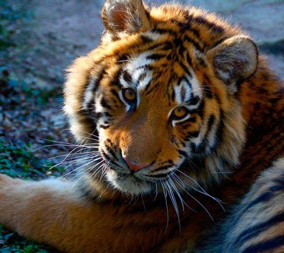 Фотообои Тигриный взгляд 0453