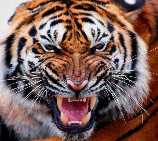 Фотообои Грозный оскал тигра 5676