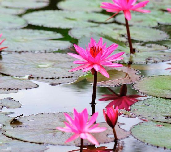 Фотообои Кувшинкаи розовые 6663