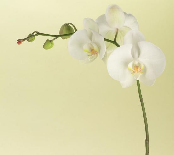 Фотообои белая орхидея на бежевом фоне 20277