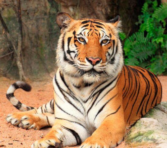 Фотообои Тигр на отдыхе 12677