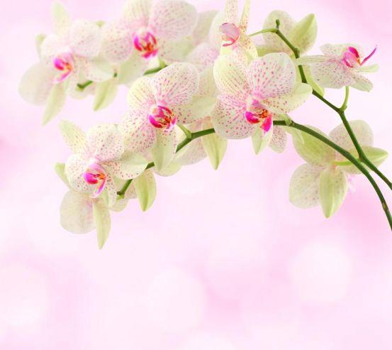 Фотообои Орхидеи точечные 8776
