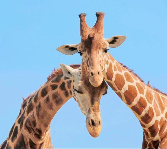 Фотообои Две жирафы 3403