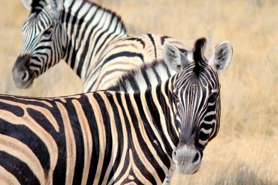 Фотообои Настороженные зебры