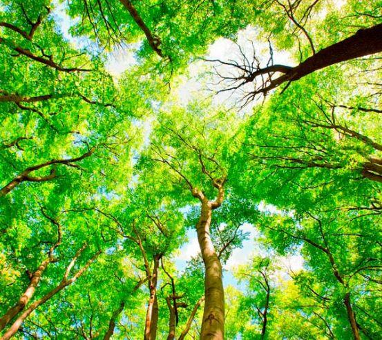 Фотообои Тонкие деревья 2558