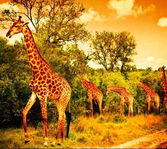 Жирафи на пасовищі 9237