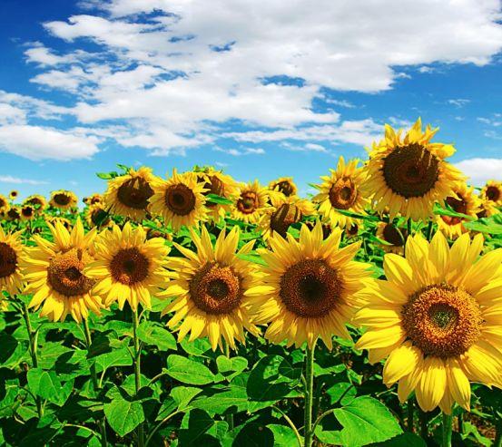 Фотообои яркие летние подсолнухи 20836