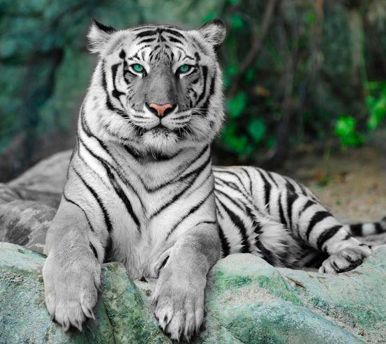 Фотообои Зеленоглазый тигр 7783