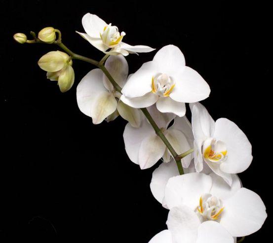 Фотообои веточка белой орхидеи на черном фоне 20661