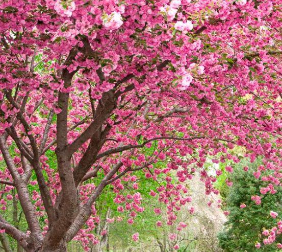 Фотообои Цветущие вишни 9834