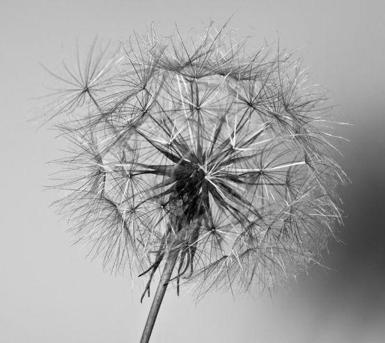 Фотообои черно-белый одуванчик 20627