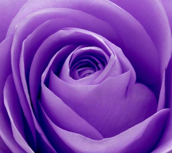 Фотообои Сиреневая роза 3494