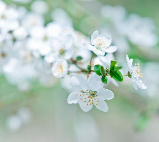 Фотообои Весной цветущий абрикос 1678
