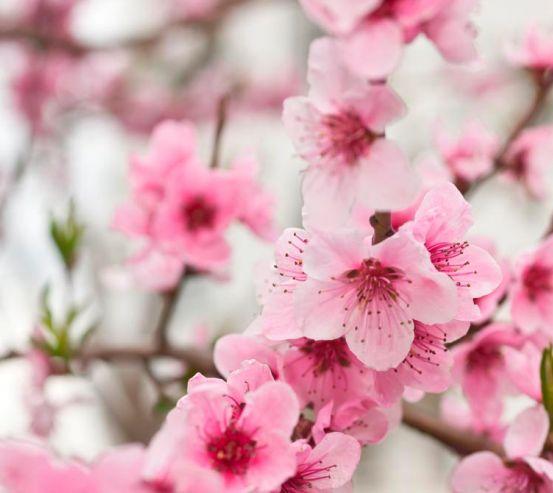 Фотообои Вишневые цветки весной 3149