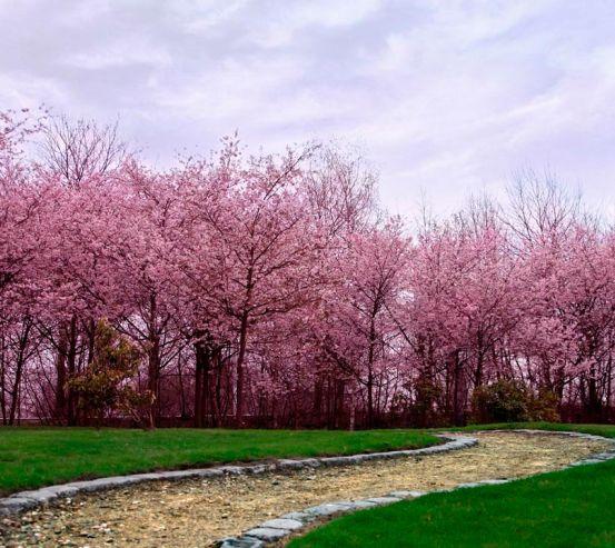 Фотообои Цветущие вишни 9800