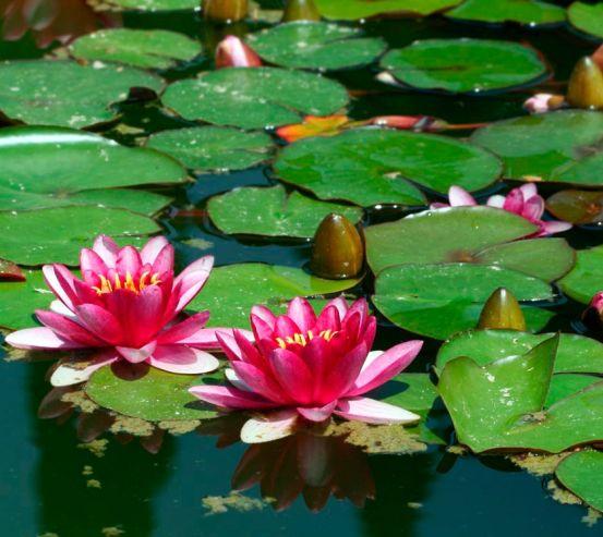 Фотообои Розовые кувшинки на воде 10620