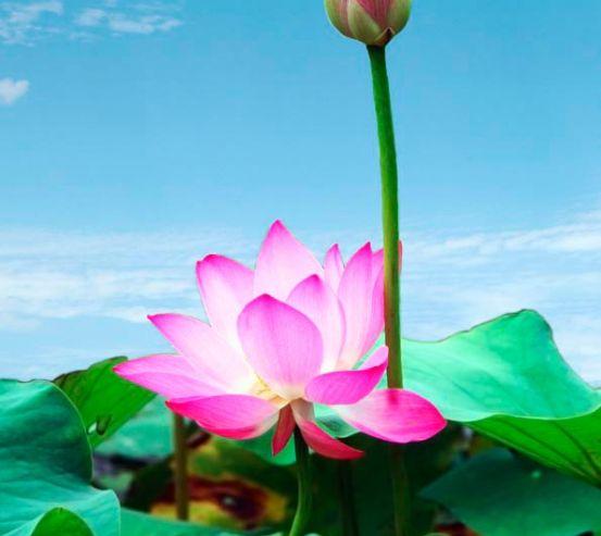 Фотообои Бледно-розовые кувшинки 3072