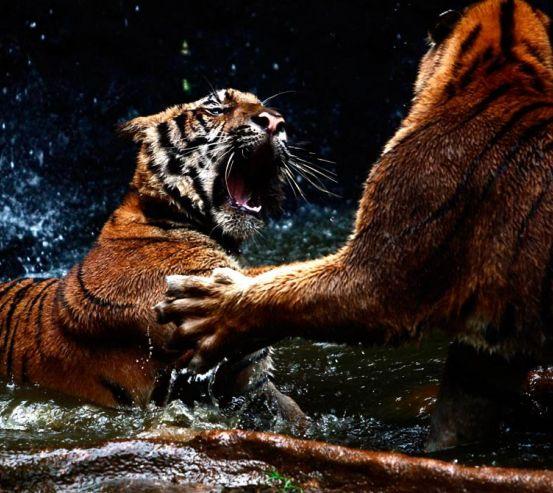 Фотообои Драка тигров 5832