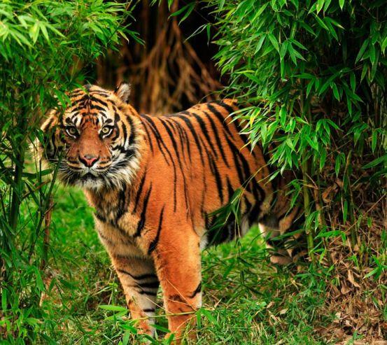 Фотообои Тигр в зарослях 12998