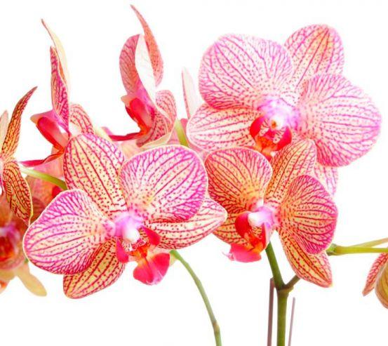 Фотообои Бежево-розовые орхидеи 4782