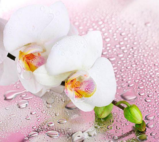 Фотообои Две белых орхидеи 12535